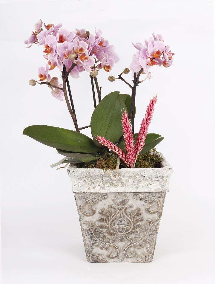 Saksıda Lila Orkideler