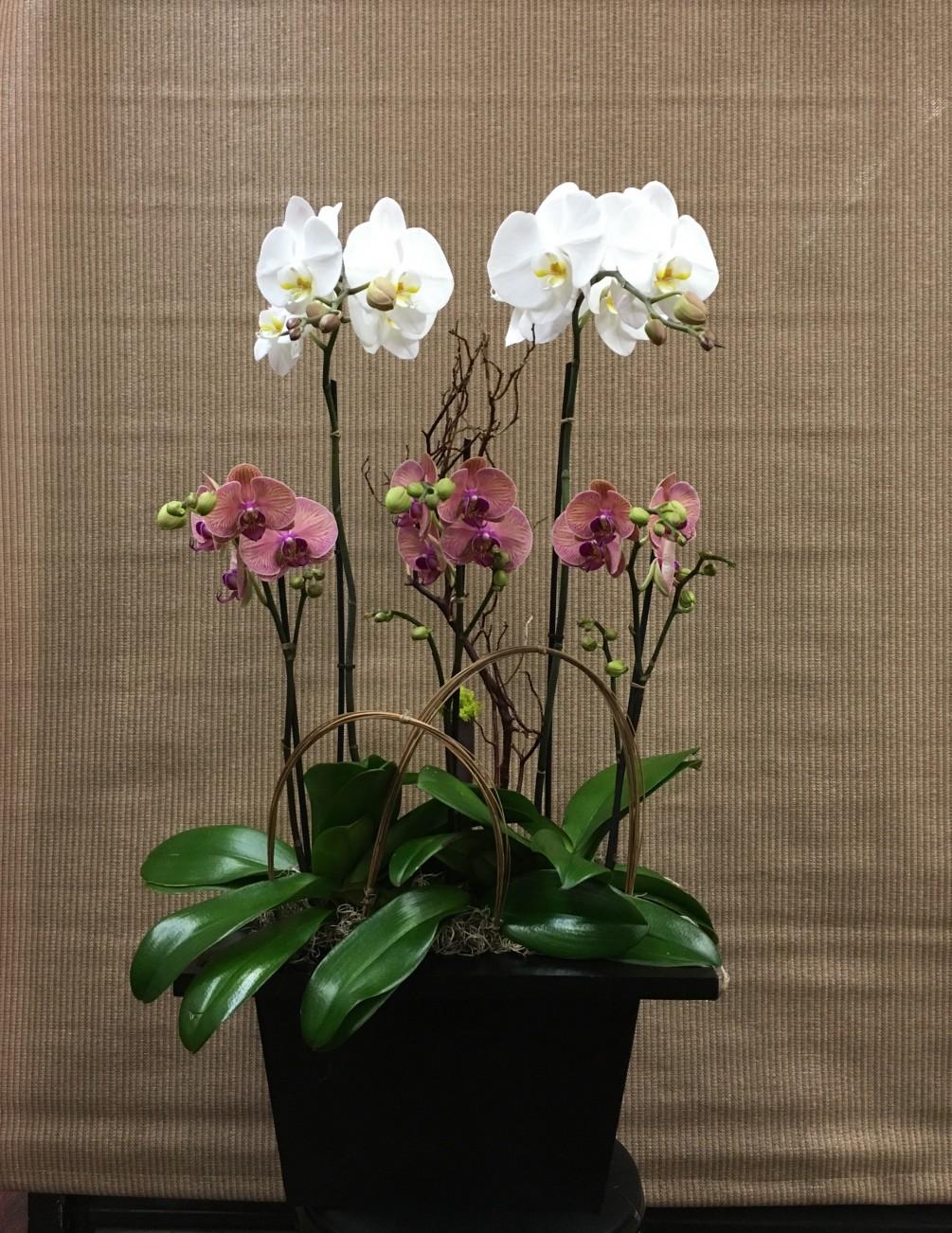 Saksıda Beyaz ve Pembe Orkideler