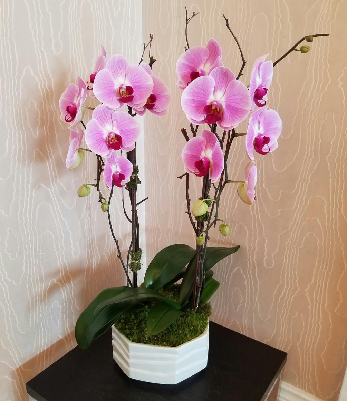 Saksıda 2 Dal Pembe Orkide