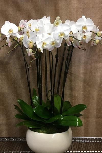 Beyaz Asil Orkideler