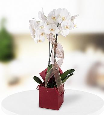 Kutuda Orkidem