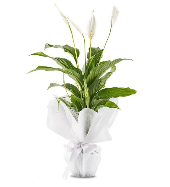 Barış Çiçeği